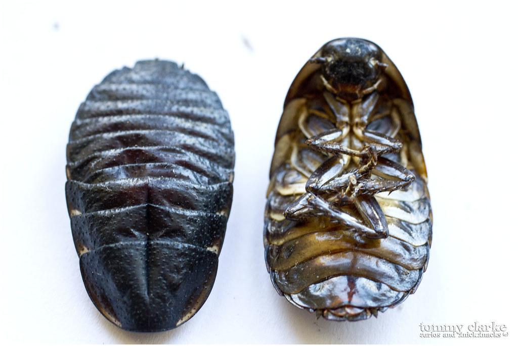 cockroach (top & bottom)