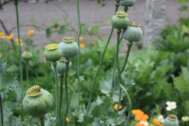 Papaver species at BBG's Herb Garden. Photo by Jean-Marc Grambert.