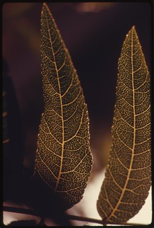 Leaves of plantlife in the Malibu Canyon area of the Santa Monica Mountains near Malibu, California, which is located on the northwestern edge of Los Angeles County, May 1975