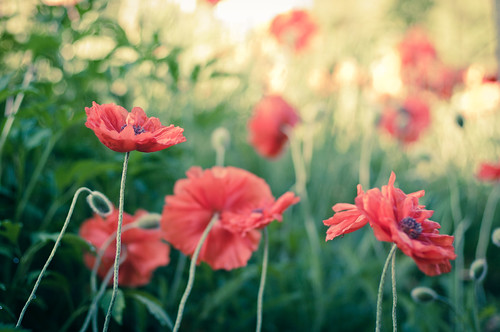 Poppies in the morning...
