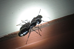 20120527 carpenter ant (shadowed)