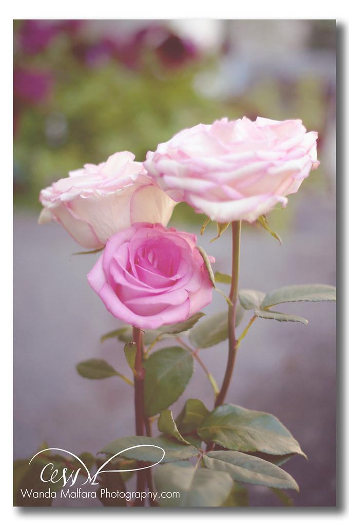 Roses - pink 019 wm