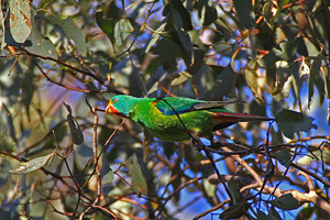Swift Parrot NB