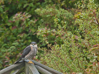1000/811: 10 May 2012: Male Sparrowhawk