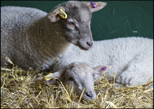 Photo of lambs