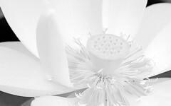 [Free Images] Flowers / Plants, Indian Lotus, Black and White ID:201206150600