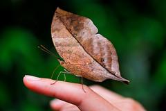 [フリー画像素材] 動物 2, 昆虫, 蝶・チョウ, コノハチョウ ID:201206170400