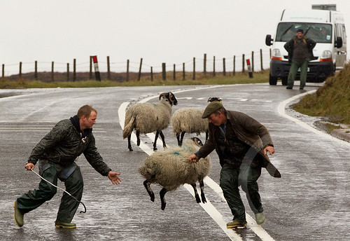 19th April 2012, Glossop: Farmers rescue escaped sheep