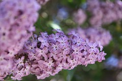 Nice smell lilac