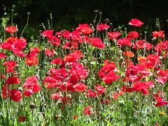 annual plant, flower, field, garden, wildflower, flora, coquelicot, meadow, petal, poppy,