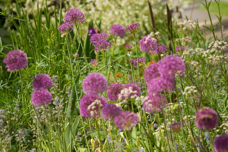 allium purple sensation patch  1659