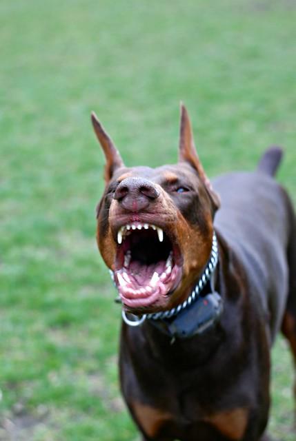 angry doberman pinscher -#main