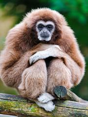 [フリー画像素材] 動物 1, 猿・サル, テナガザル ID:201205251600