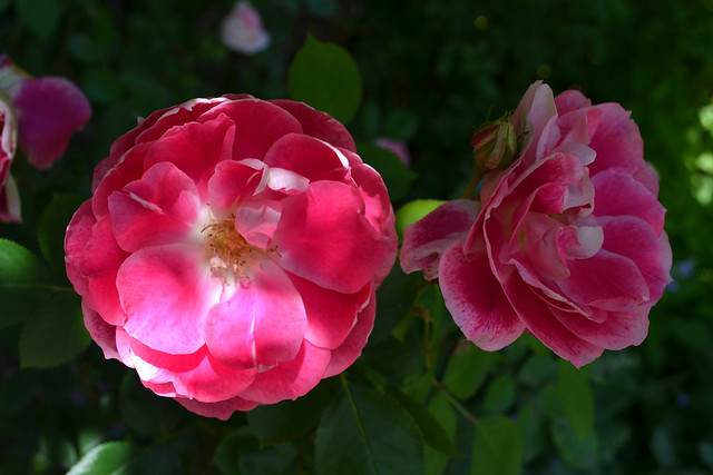 Rosa 'Carefree Wonder'. Photo by Jean-Marc Grambert.