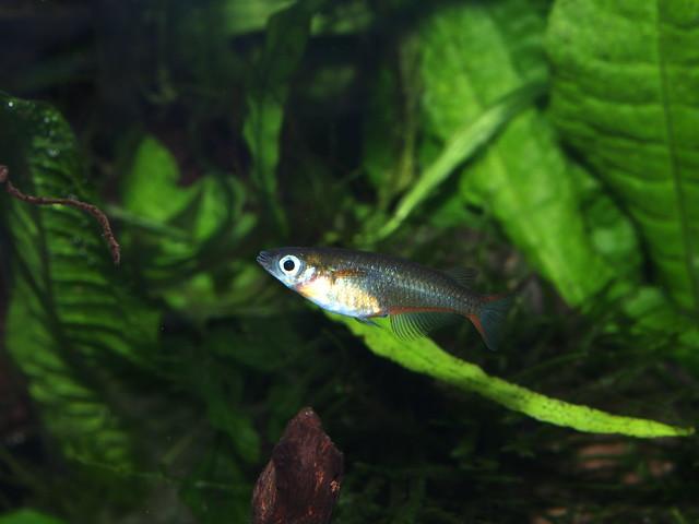 P5210051 七彩霓虹稻田魚