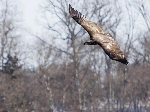 Juvenile Bald Eagle  by Ricky L. Jones Photography
