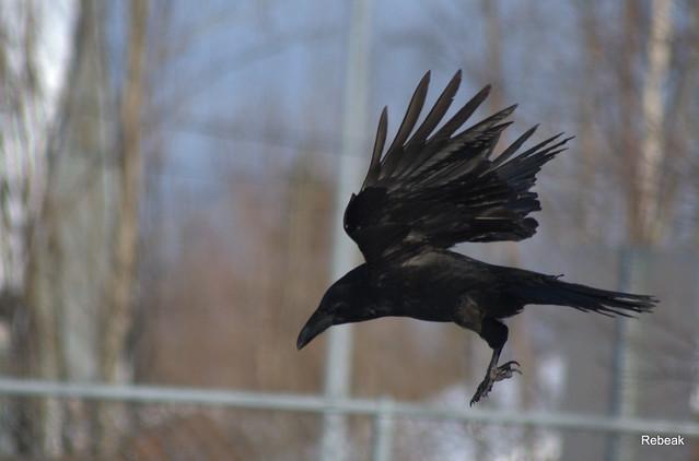 raven wings spread