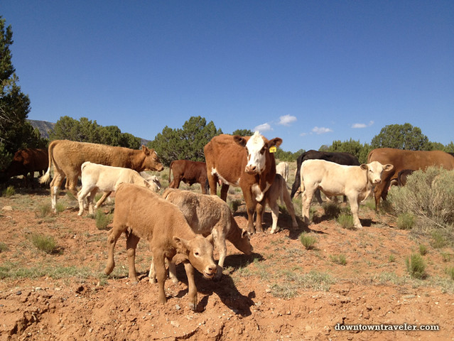Cow herd at Escalante National Monument