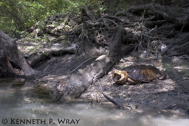 Macrochelys temminckii alligator snapping turtle flickr photo