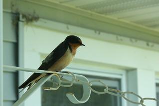Barn swallow posing