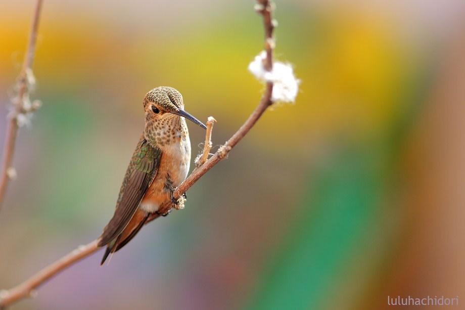 Allen's Hummingbird 052912-3