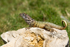 Curly Tailed Lizard