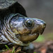 Southeastern Mud Turtle - Photo (c) Dave Huth, some rights reserved (CC BY-NC)
