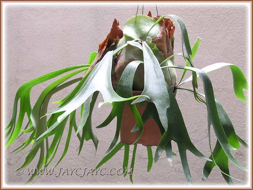Gorgeous Platycerium bifurcatum (Staghorn Fern) at our courtyard