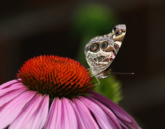 Beautiful Painted Lady Butterfly on a Cone Flower - Glenola North Carolina - Randolph County