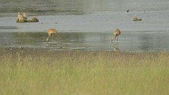 Sandhill Cranes and Juvenile? Yellow Headed Blackbird at Glacial Park