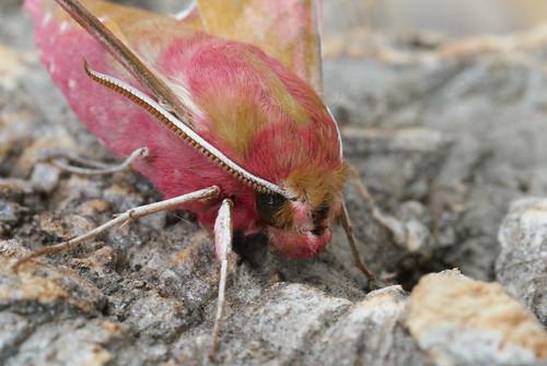 Small Elephant Hawk-moth (Deilephila porcellus) (3)