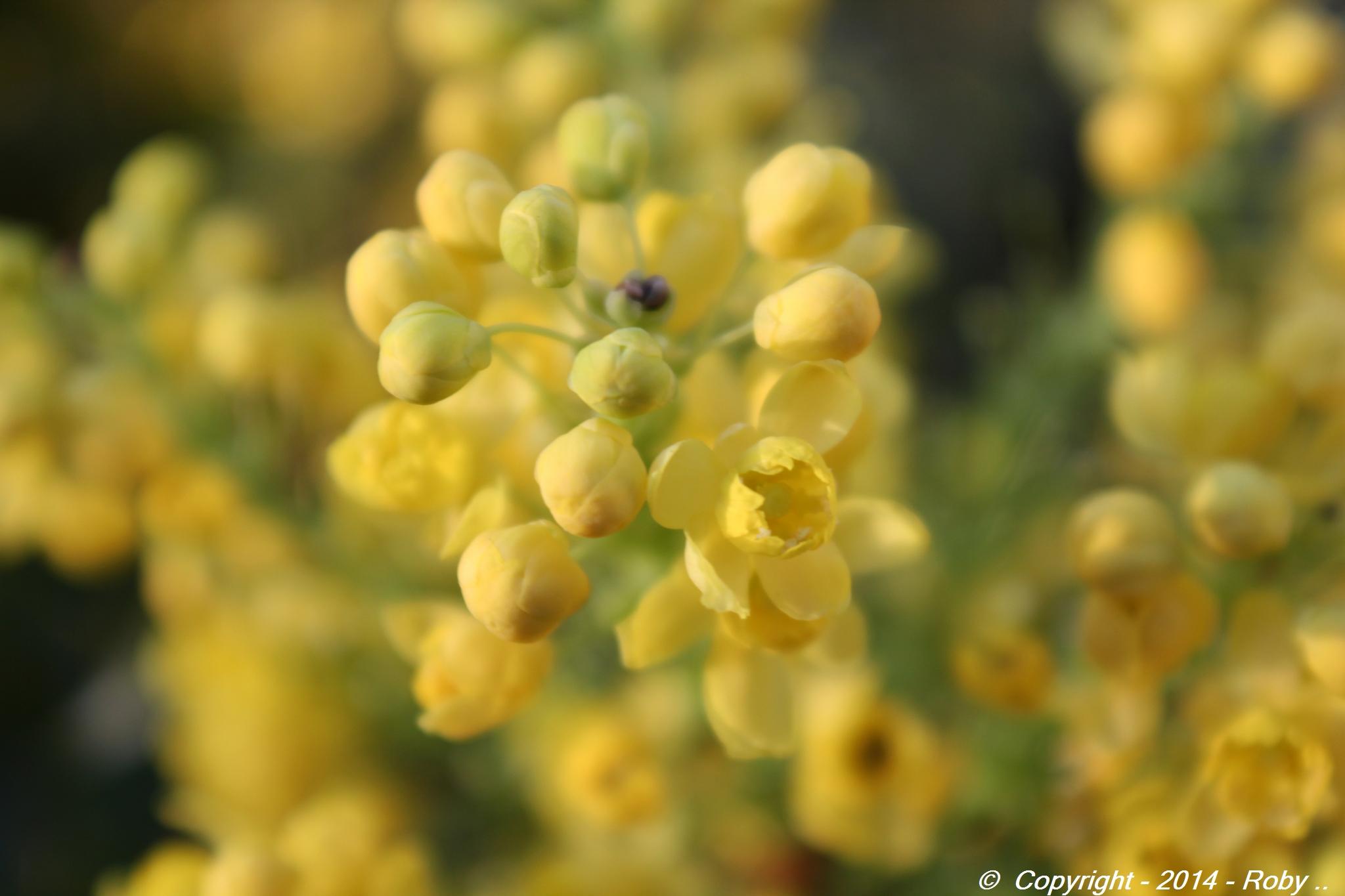 fleurs mahonia -2014 Roby(13)