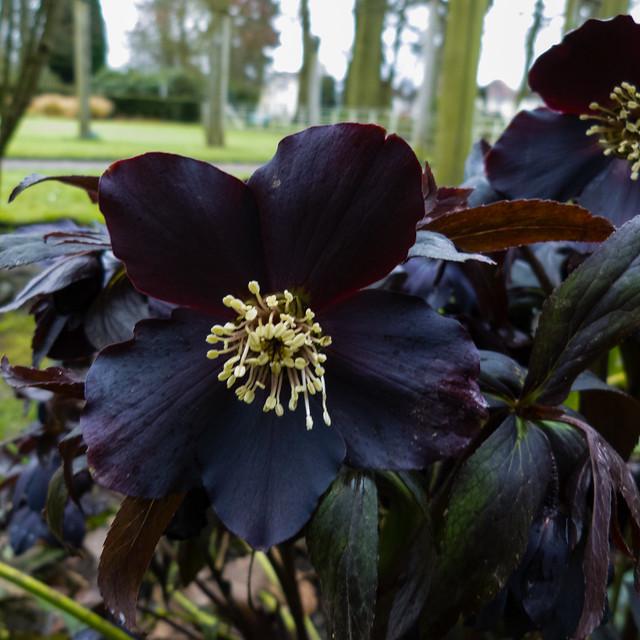 Hellebore, flowering, Bantock Park, June 2015