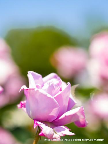 Rose & Blue sky #04