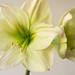Small photo of Amaryllis blanc