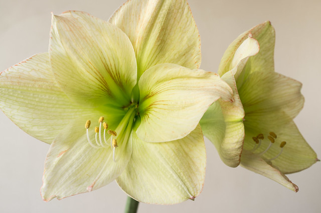 Blanc definition meaning for Amaryllis rouge signification