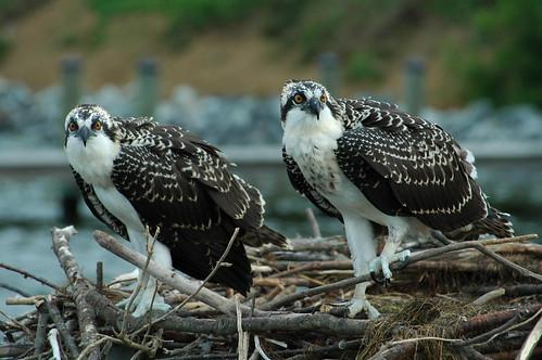 Osprey, Piney Point (Joe Dunn)
