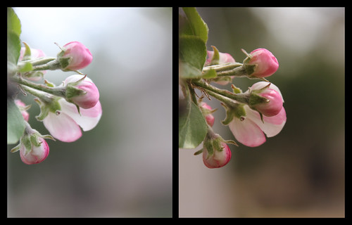 apple blossom diptych