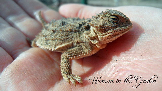 Short Horned Lizzard