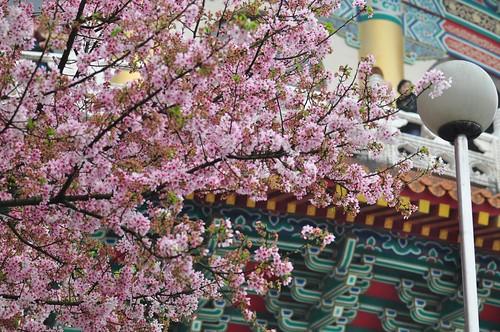 無極天元宮櫻花