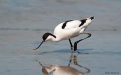 animal, charadriiformes, fauna, shorebird, beak, bird, wildlife,