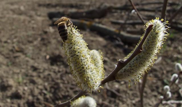 Salcia capreasca(Salix caprea)
