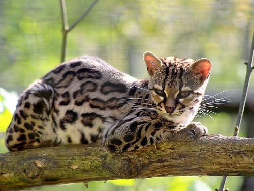Margay by home77_Pascale