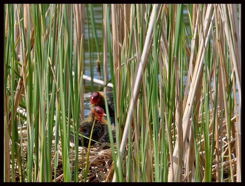 Common Moorhen Nest