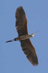 Garza imperial - Purple Heron - Ardea purpurea