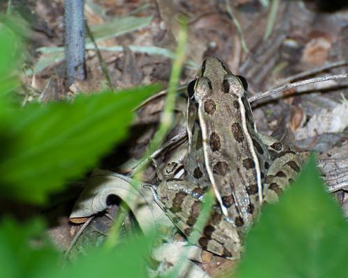 frog leopard kansas coffey
