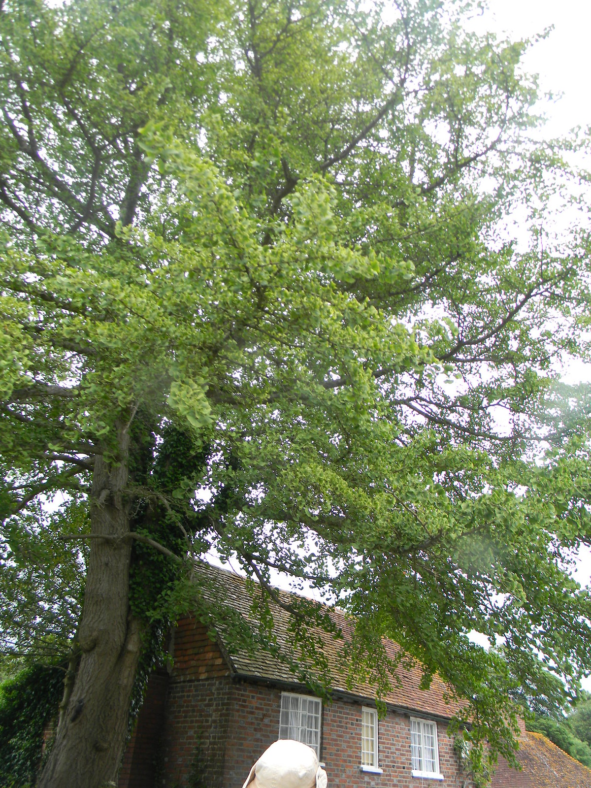 Large gingko, West Firle Lewes to Berwick