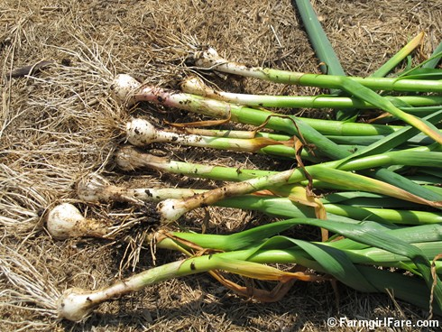 5-11-12 Friday Farm Fix #9 (8) spring green garlic - FarmgirlFare.com