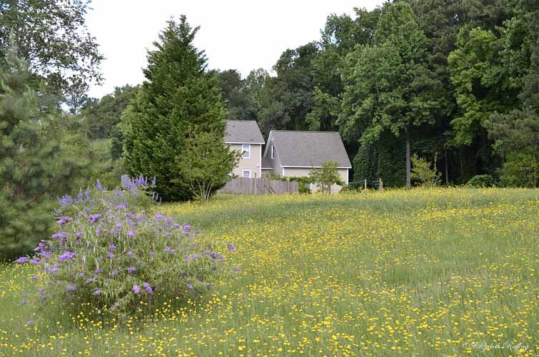Yard full of dandelions