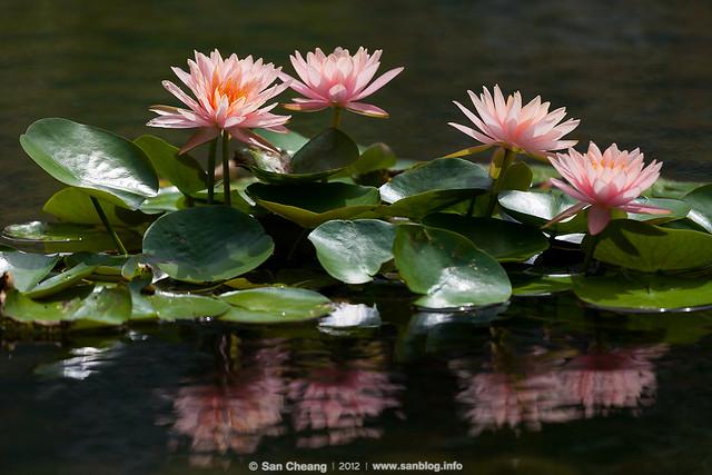 flower_MayLotus-0262